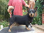 Black and tan lancashire heeler Swanndale HAPPY TIMES Россия