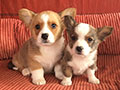 Welsh corgi cardigan puppies in Zamok Svyatogo Angela Kennel